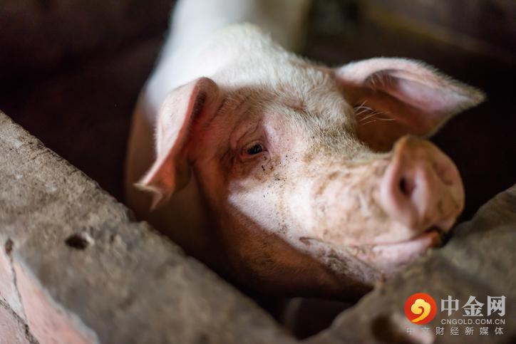 猪 2.jpg